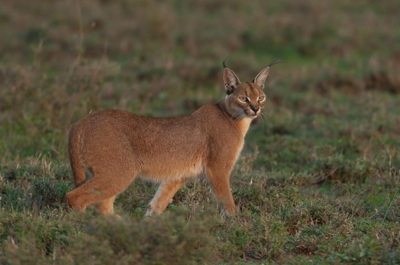 Copy of caracal-Ngorongoro