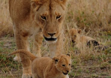 copy_of_lion_cub_ngo_8VPOB