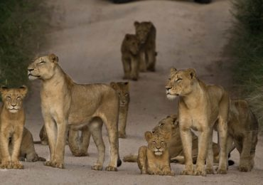 copy_of_lions_selous