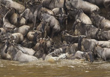 crossing_wildebeest