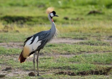beautiful-crown-crane-in-Tanzania