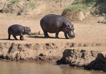 hippos_baby_serenget_877mD