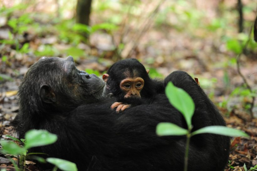 Chimp-family-Wito-Africa-Safaris