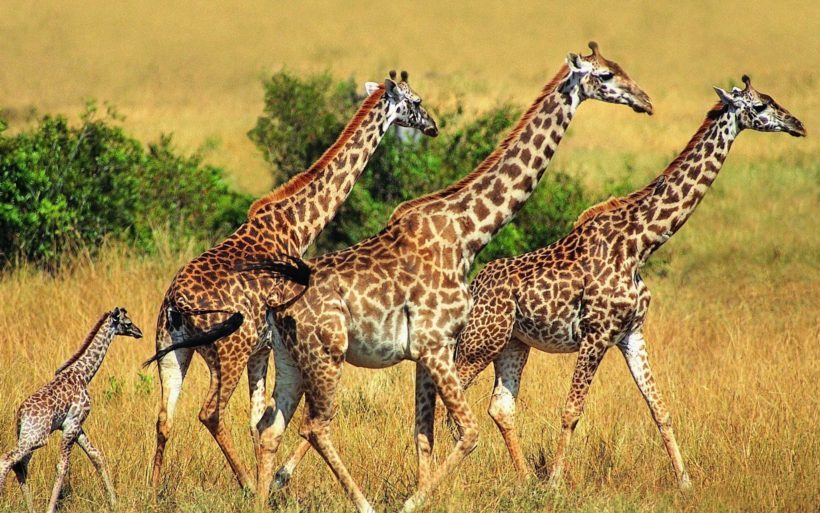 Family-Vacation-Ideas-Tanzania-Wildlife-Safari-Arusha-Tarangire- Ngorongoro-Serengeti