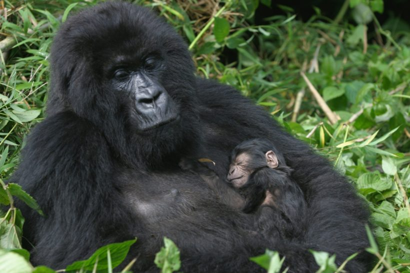 Bwindi-Impenetrable-Gorilla-Safari-Ngorongoro-Crater-Big 5-[2019-2020]