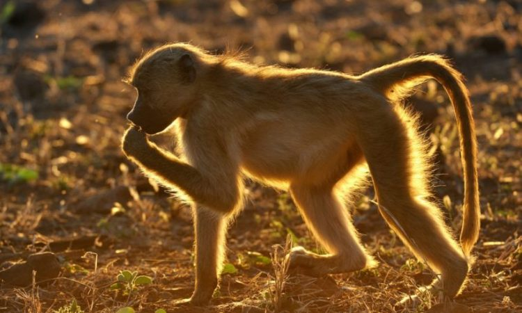 baboon-Wito-Africa-Safaris-820x545