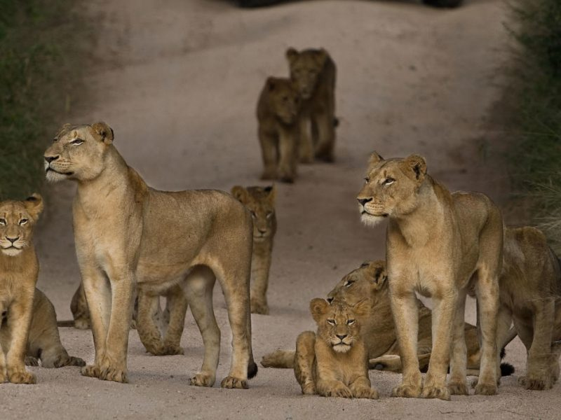 Lions Selous Wito Africa Safaris