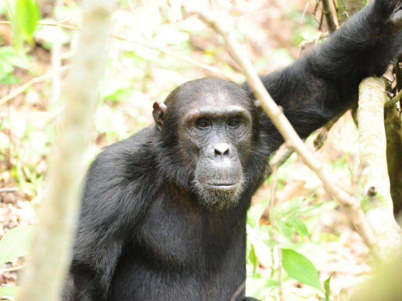Group Chimps Wito Africa