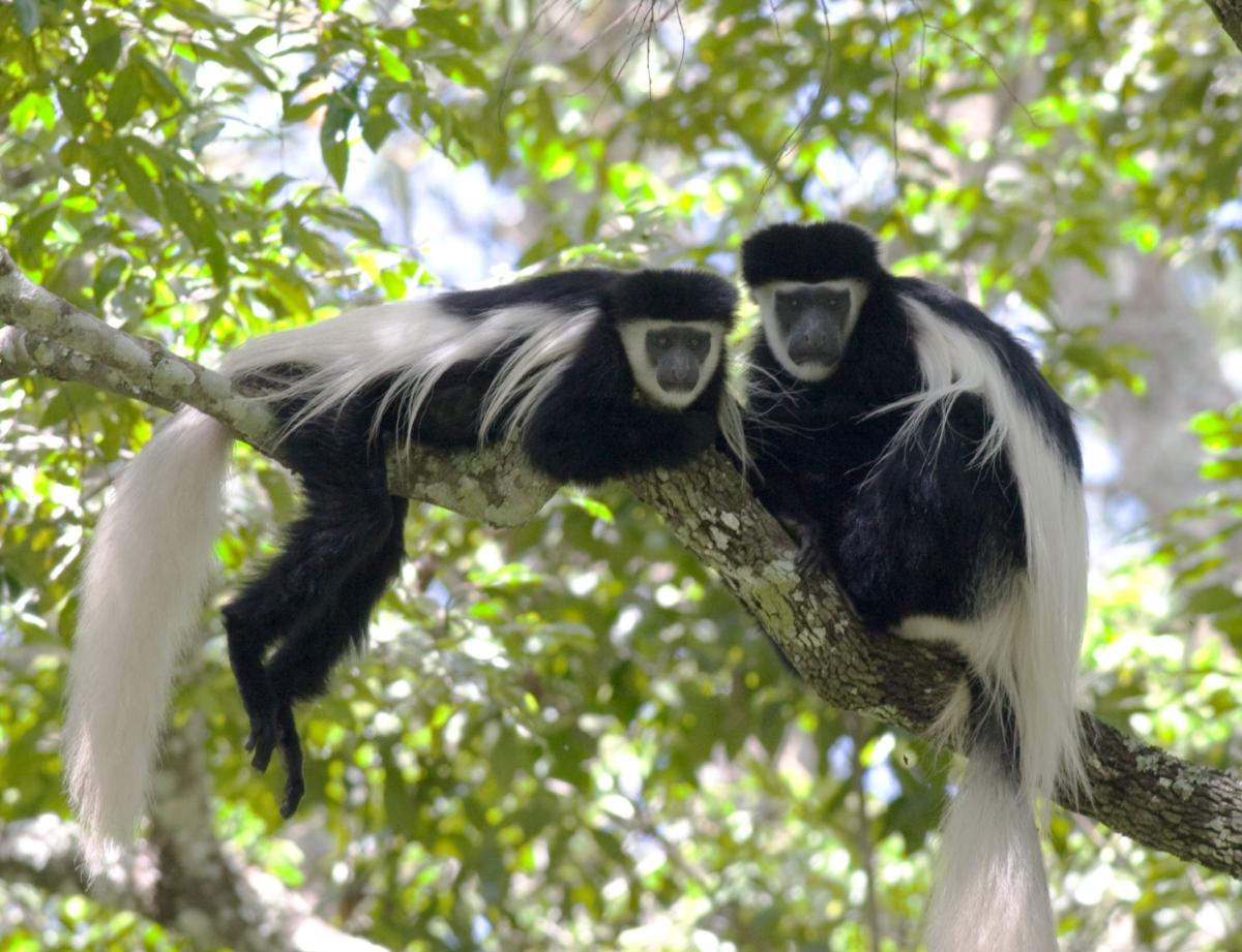 Blac-White-Colobus-Monkey