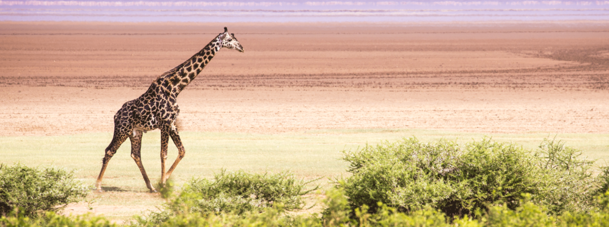 Lake-Manyara-National-Park-Giraffes-in-Wito-Africa-Safaris