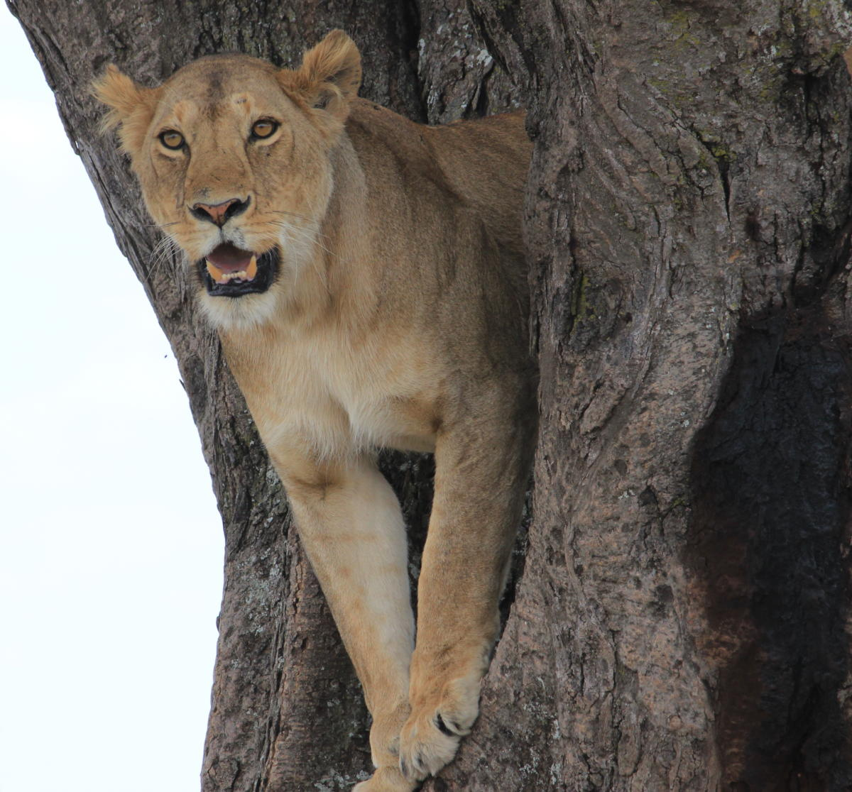 Lake-Manyara-National-Park-Tree-Climbing-Lion-