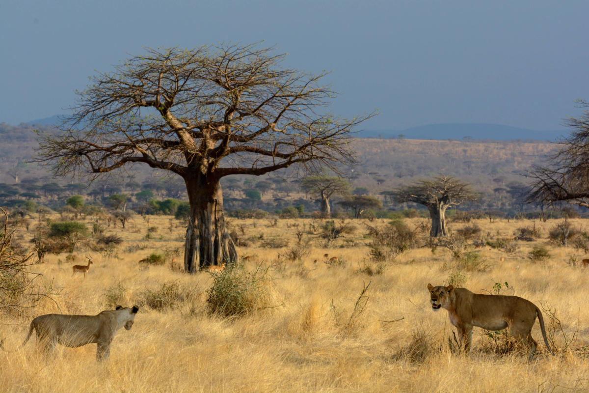 Wito-Africa-jabali-ridge-baobab-tree-and-lions
