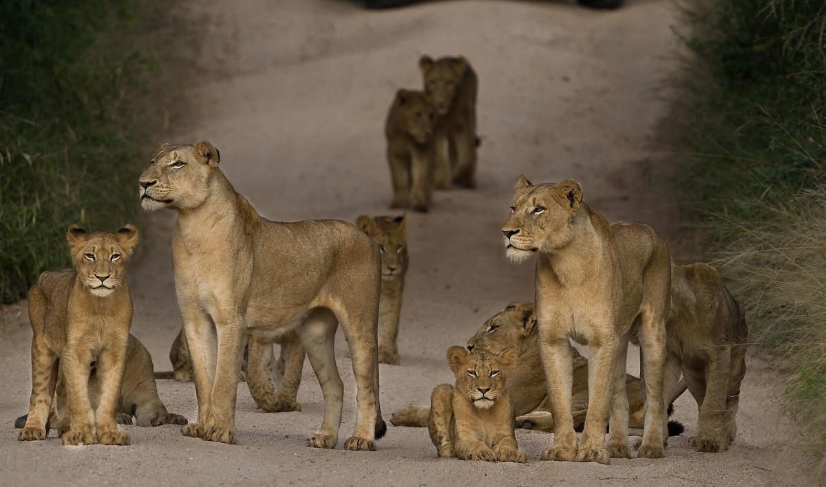 lions-Selous-Wito-Africa-Safaris
