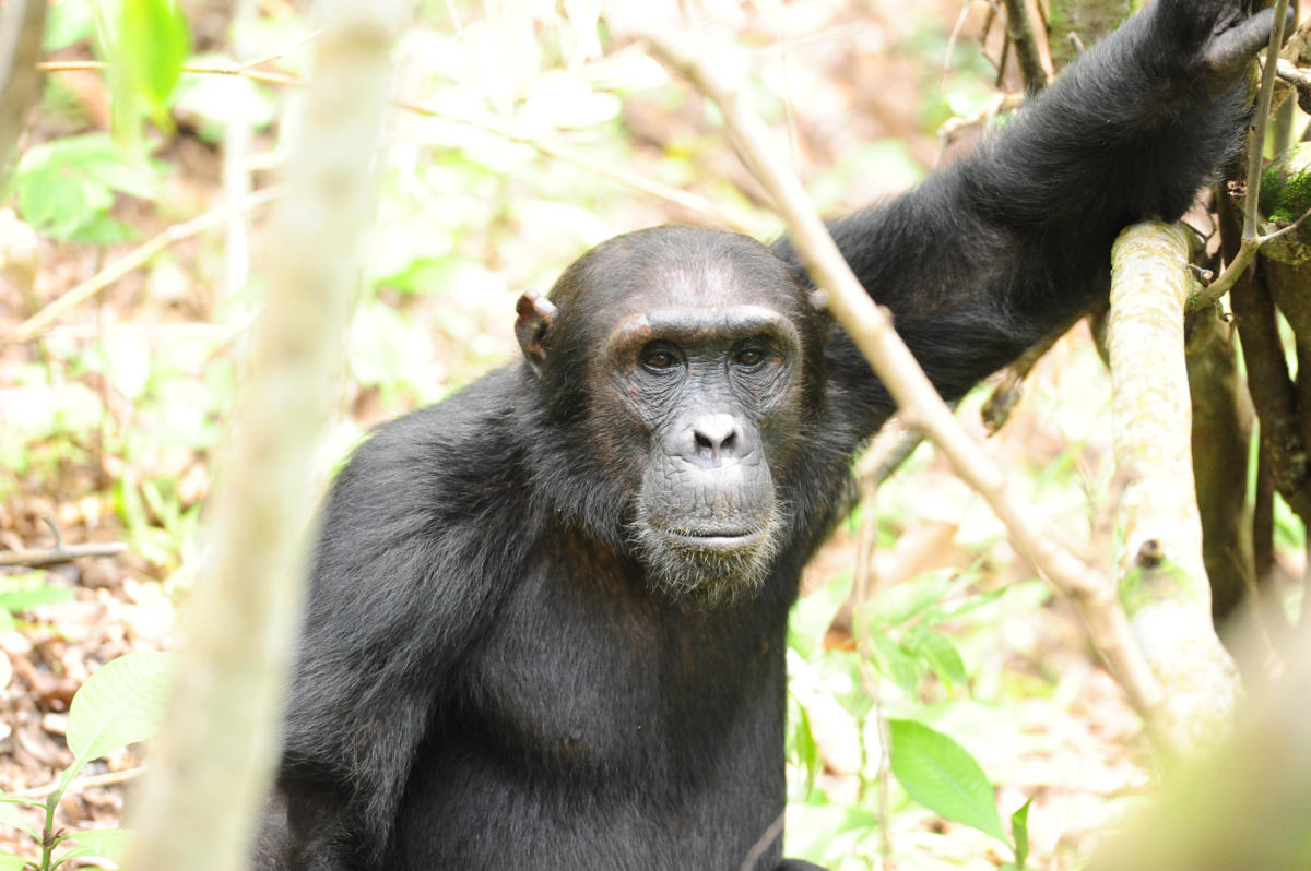 m-group-chimps--Wito-Africa