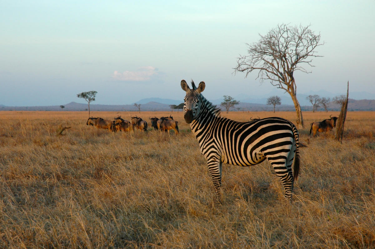 zebra-mikumi-national-park-Wito-Africa-Safaris
